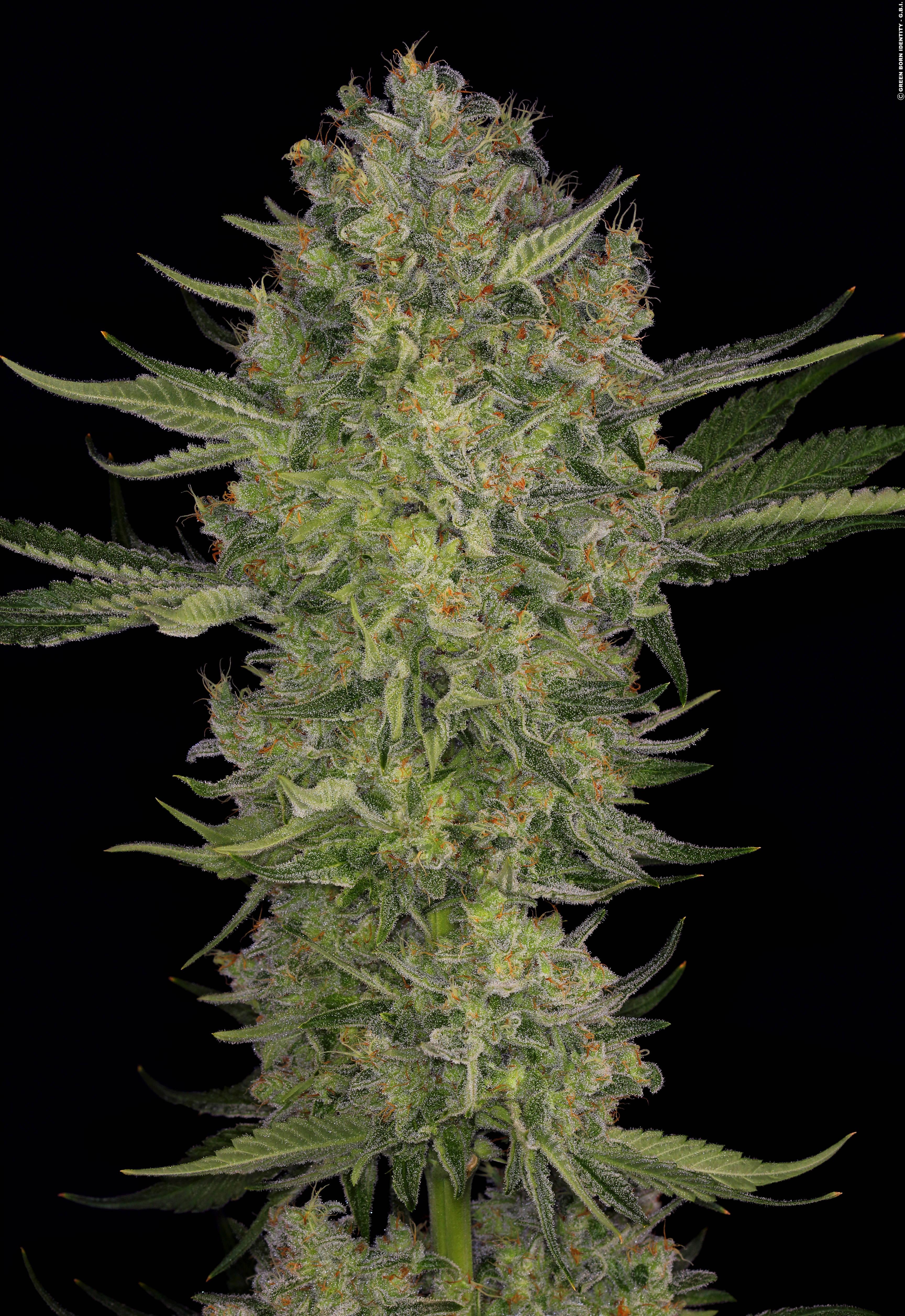 Конопли высокорослые семена фото большие кусты марихуаны