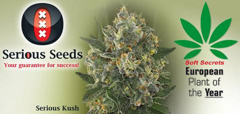 Serious Kush - Soft Secrets Plant of the Year