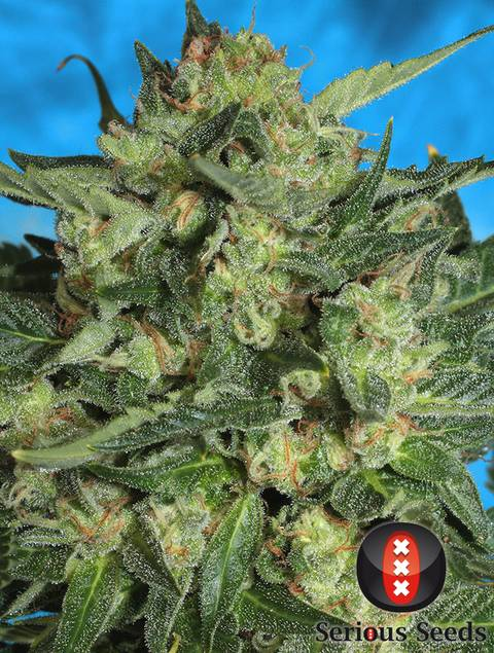Auto White Russian strain - cannabis seeds
