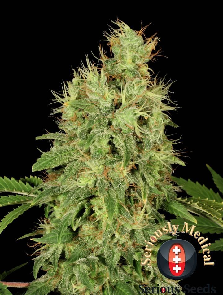 CBD-Chronic strain - cannabis seeds