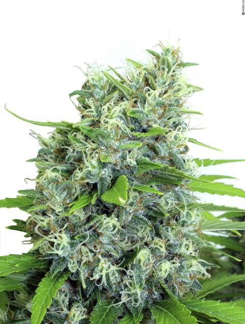 KaliBubba strain - cannabis seeds