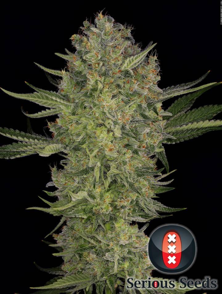 Serious Kush strain - cannabis seeds