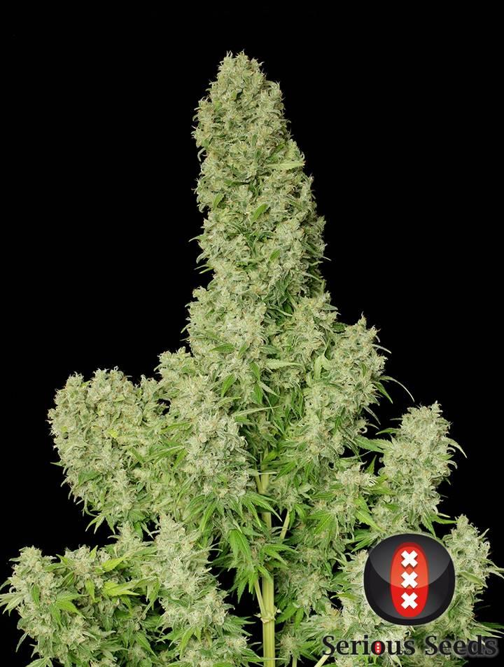 White Russian strain 2