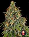 Strawberry AKeil strain cannabis seeds 3