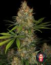 Strawberry AKeil strain cannabis seeds 2