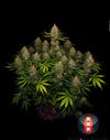 Strawberry AKeil strain cannabis seeds 1