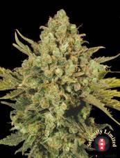 CBD-Warlock strain - cannabis seeds