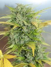 Auto AK47 strain - cannabis seeds