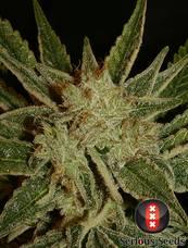 Bubble Gum strain - cannabis seeds