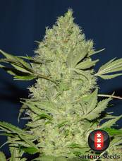 Chronic strain - cannabis seeds