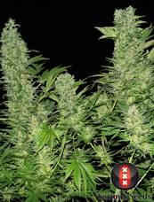 Double Dutch strain - cannabis seeds
