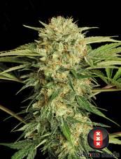 Motavation strain - cannabis seeds