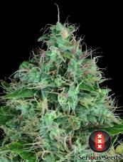 Serious 6 strain - cannabis seeds