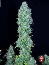 Serious Happiness strain - cannabis seeds