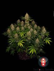 Strawberry AK strain - cannabis seeds