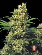 Warlock strain - cannabis seeds
