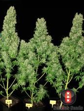 White Russian strain - cannabis seeds
