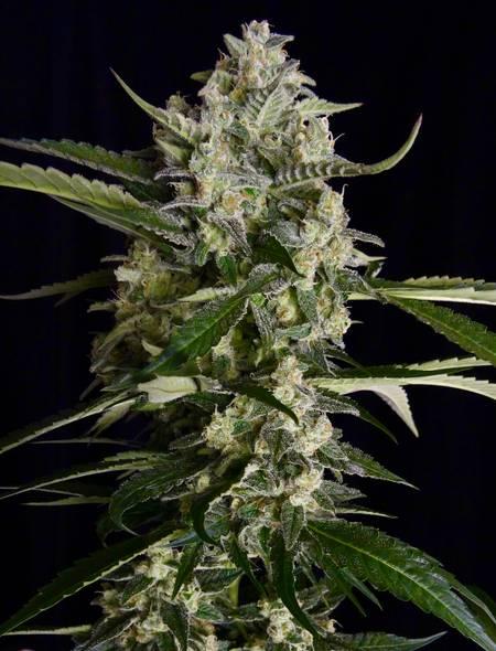 Seriosa strain - cannabis seeds