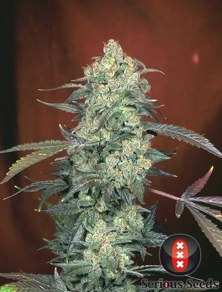 AK47 strain - cannabis seeds