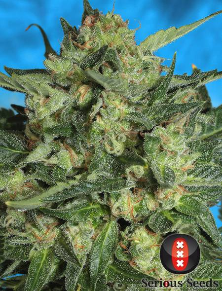 Auto White Russian strain - cannabis seeds