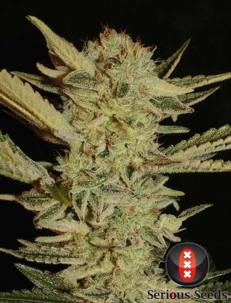 Bubble Gum strain - cannabis seeds