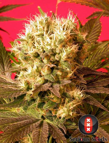Motavation strain - cannabis seeds