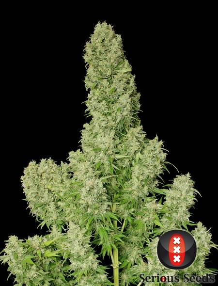 White Russian strain - cannabis seeds
