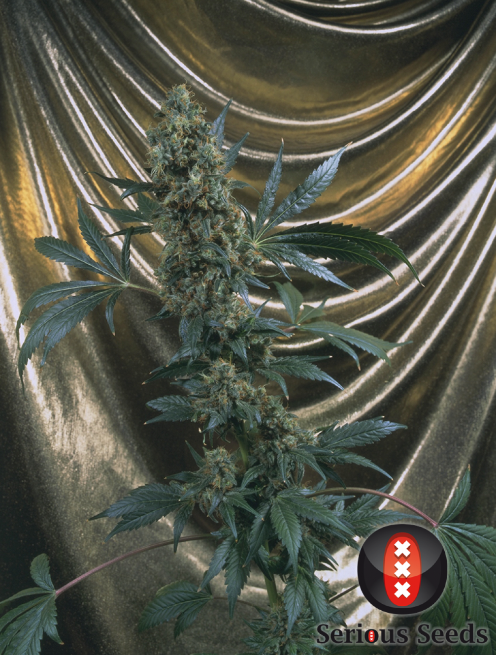 Bubble Gum Cannabis Seeds | Serious Seeds