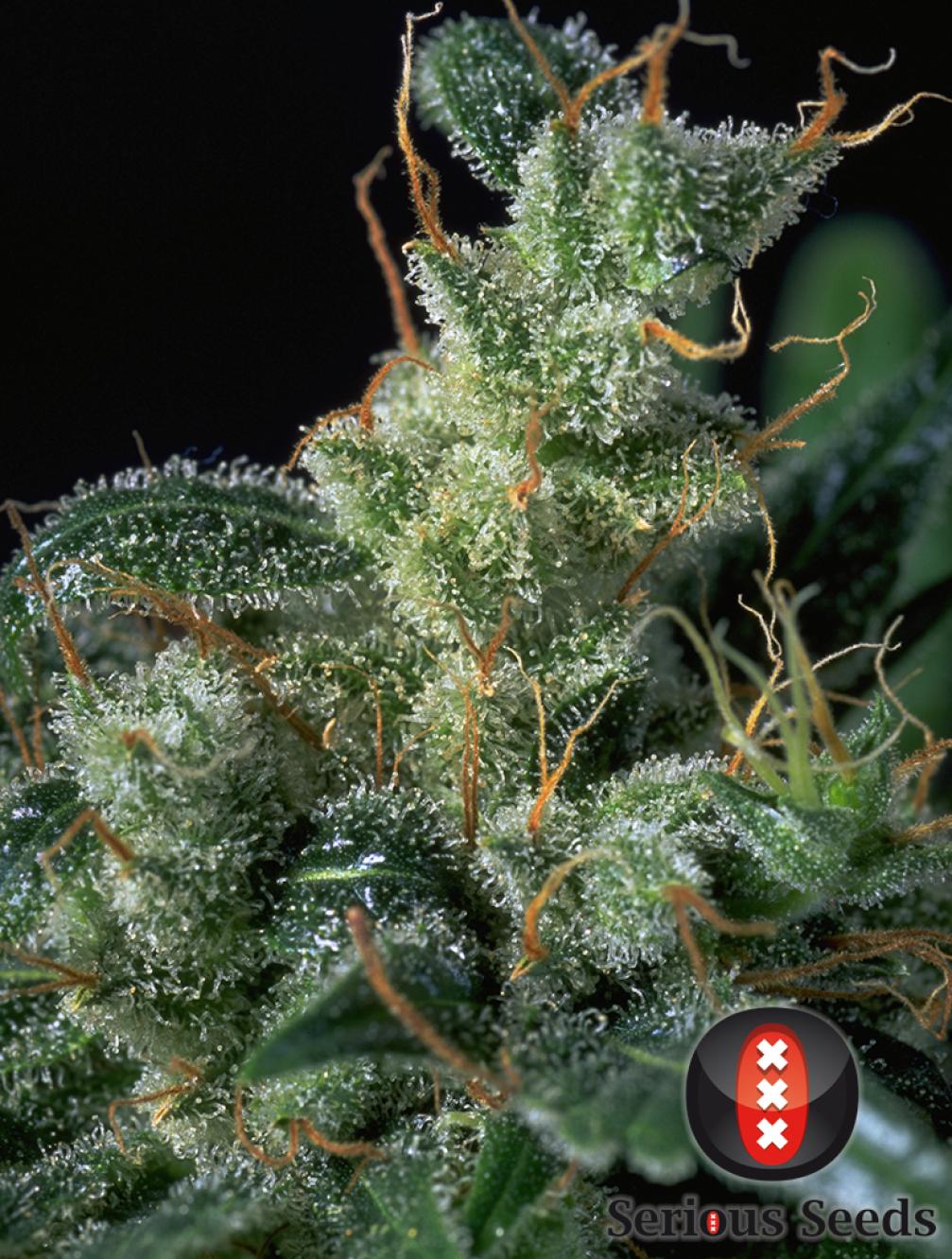 Kali Mist Cannabis Seeds Serious Seeds