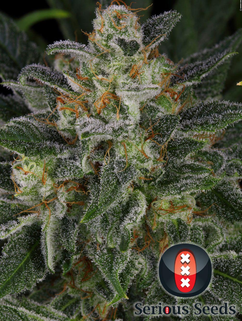Serious Kush Cannabis Seeds | Serious Seeds
