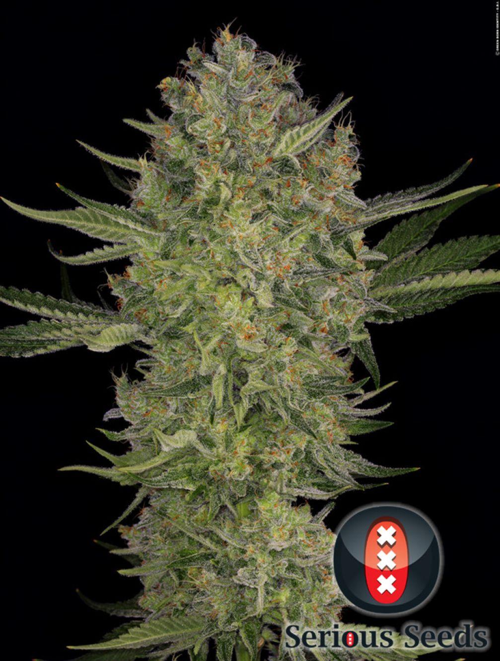 Serious Kush Cannabis Seeds Serious Seeds
